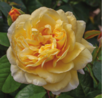 Official Centennial Sunshine Rose